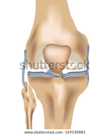 human knee joint and knee pain pain with ligaments in vector format  - stock vector