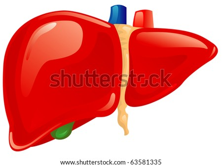 Human liver - stock vector