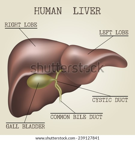 Human liver anatomy illustration drawn in vintage encyclopedia style - stock vector