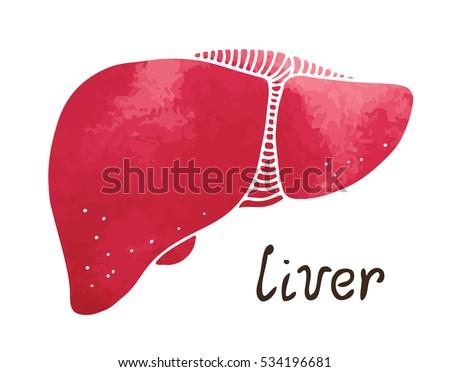 Human Liver Gallbladder Anatomy Illustration Watercolor Stock Vector ...