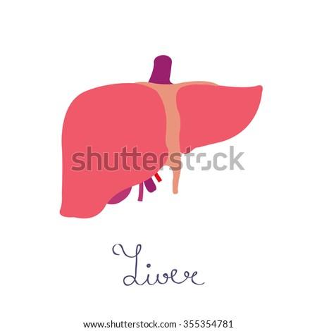 human liver. vector illsutration - stock vector