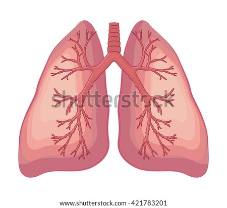 Human lung anatomy diagram stock vector 421783201 shutterstock human lung anatomy diagram ccuart Gallery