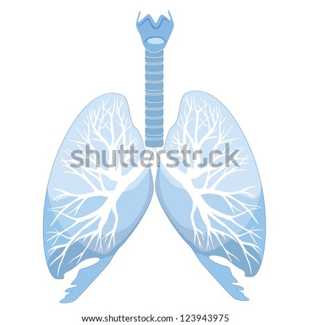 Human lungs and bronchi - stock vector