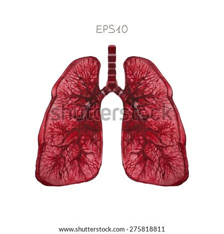 Human lungs, vector. - stock vector