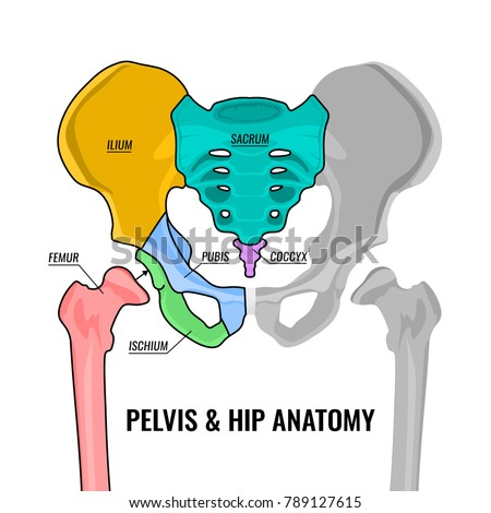 Pelvis Stock Images, Royalty-Free Images & Vectors ...