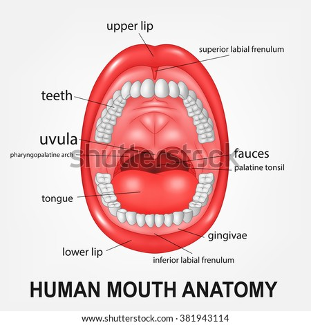 human mouth anatomy open mouth explaining stock vector. Black Bedroom Furniture Sets. Home Design Ideas