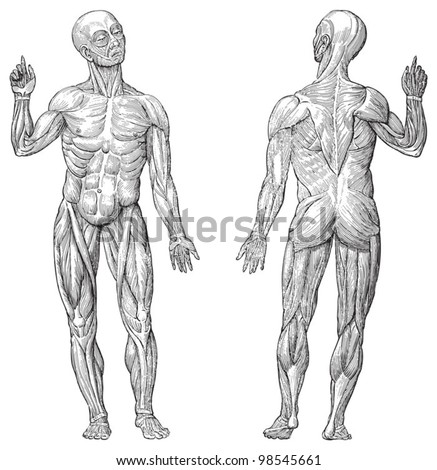 Human muscle anatomy / vintage illustrations from Die Frau als Hausarztin 1911 - stock vector
