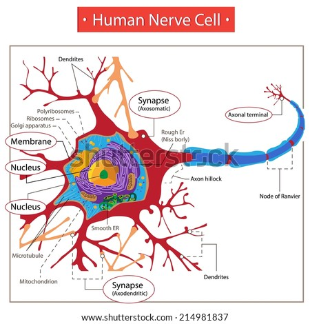 Human nerve cell stock vector 214981837 shutterstock human nerve cell ccuart Gallery