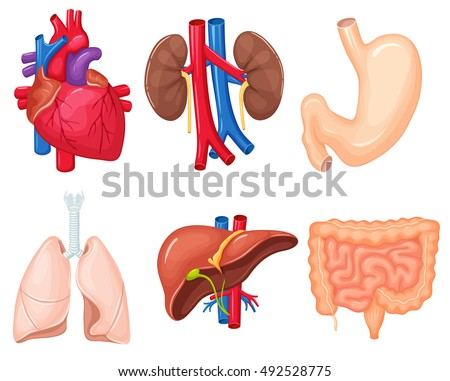 Human organs anatomy: heart, lungs, kidney, stomach, intestines, liver. Medical science vector illustration set.