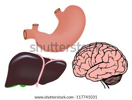 human organs. liver, stomach and brain. vector medicine illistration - stock vector