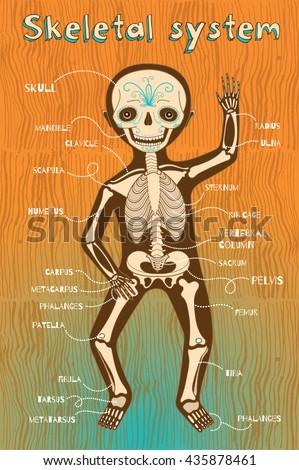 Stock Vector Human Skeletal System For Kids Vector Color Cartoon Illustration Human Skeleton Scheme