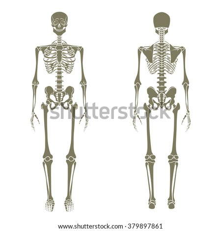 Human skeleton. Didactic board of anatomy of human bony system. The human skeletal system, front and rear view. - stock vector