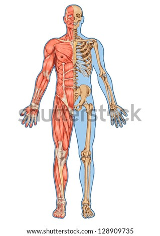 anatomy skeleton stock images, royalty-free images & vectors, Skeleton