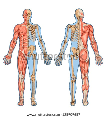 human skeleton posterior anterior view didactic stock vector, Skeleton
