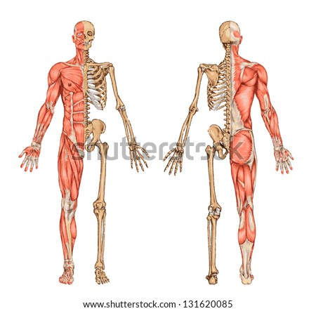 human skeleton from the posterior and anterior view - didactic board ...