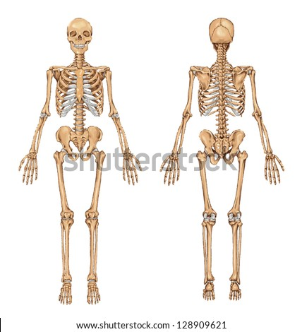 human skeleton from the posterior and anterior view - didactic board of anatomy of human bony system - stock vector