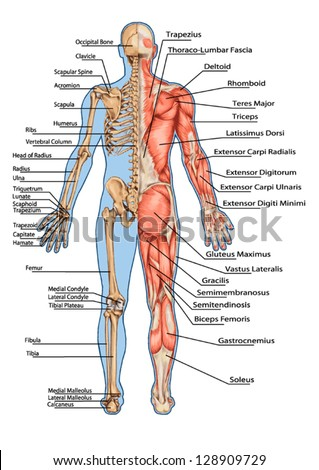 muscular system stock images, royalty-free images & vectors, Skeleton