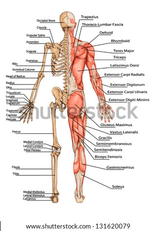 Human Skeleton From The Posterior View - didactic board of anatomy of human bony and muscular system - stock vector