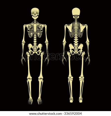 Human skeleton front rear view didactic stock vector 336592004 human skeleton front and rear view didactic board of anatomy of human bony system ccuart Image collections