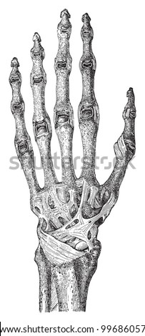 Human skeleton hand bones muscles vintage stock vector 2018 human skeleton hand with bones and muscles vintage illustration from meyers konversations lexikon 1897 ccuart Choice Image