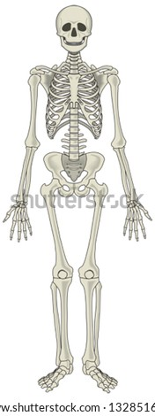 Human skeleton vector - stock vector