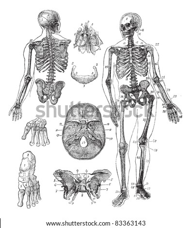 Human skeleton, vintage engraving. Old engraved illustration of Human skeleton from front and back with its functioning parts and their names.  Trousset encyclopedia (1886 - 1891). - stock vector