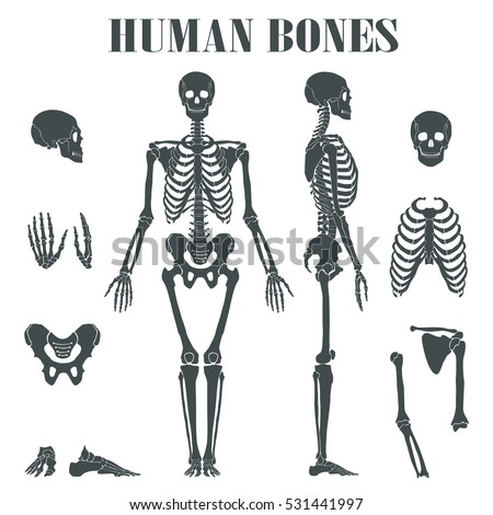 Human Skeleton Different Parts Anatomy Human Stock Vector Hd