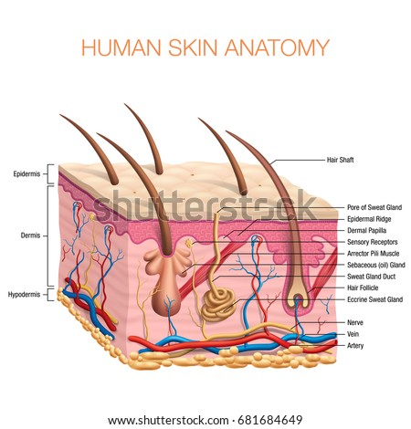 Anatomy stock images royalty free images vectors shutterstock human skin anatomy vector illustration isolated background ccuart Images