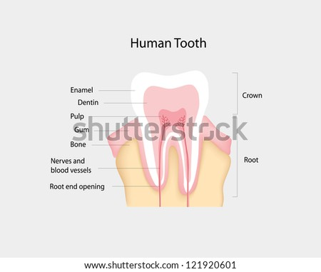 human tooth - stock vector