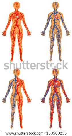Human vascular system. Female - human circulatory system. Human bloodstream - arterial and venous systems - stock vector