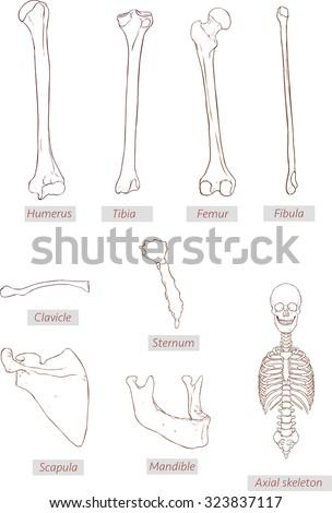 Humerustibiafemurfibulaclaviclesternumscapulamandibleaxial Skeleton