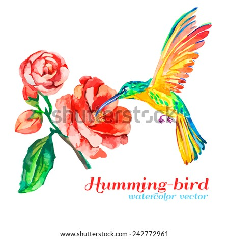 Hummingbird and rose. Isolated objects. Tropical bird and flower. Camellia. Watercolor. Vector.