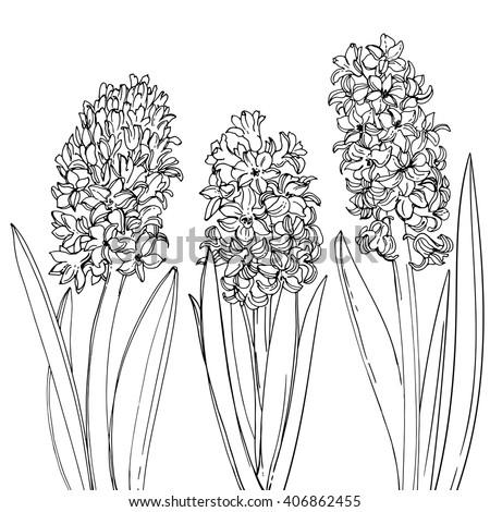 hyacinths flowers line drawn on a white background sketch hyacinth spring flowers