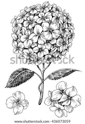 Hydrangea flower set. Hand drawn detailed hortensia - stock vector