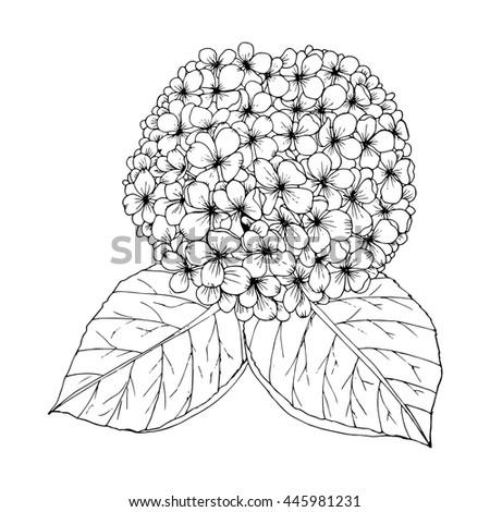 hydrangea drawing vector
