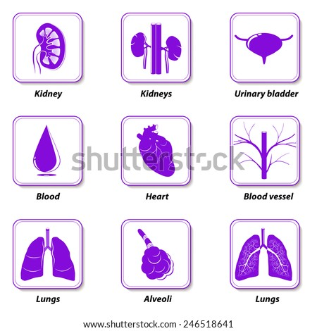 icons internal human organs for infographic. Organs of the excretory system, circulatory system and respiratory system.  - stock vector