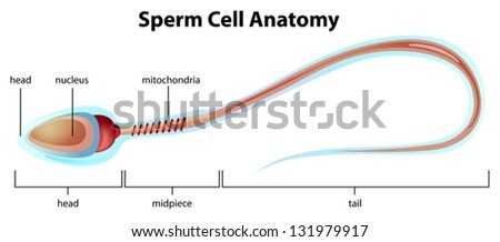 Illustartion showing structure sperm cell stock vector 131979917 illustartion showing the structure of a sperm cell ccuart Choice Image