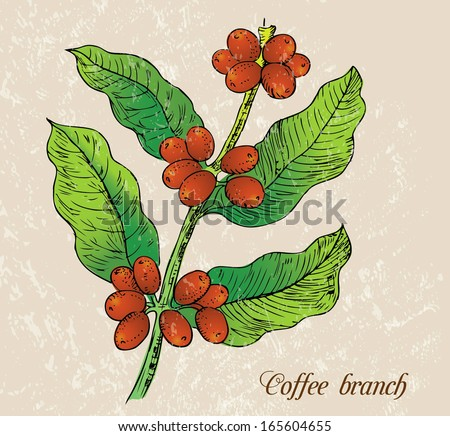 Illustration - branch of coffee - stock vector