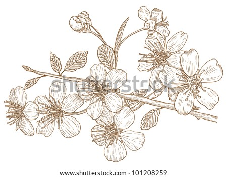 Illustration flowers of the cherry blossoms in vintage style - stock vector