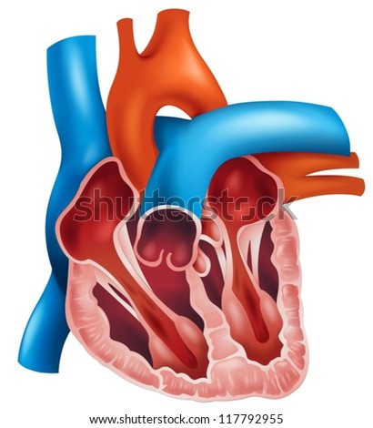 Illustration of a cross section of a human heart - stock vector