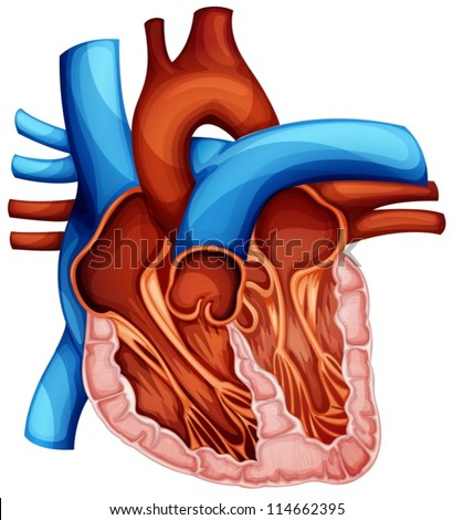Illustration of a human heart cross section - stock vector