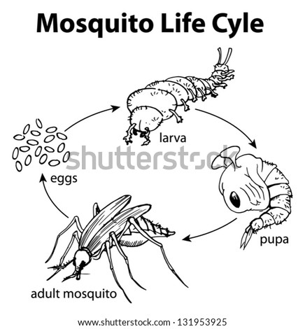Illustration of a mosquito life cycle - stock vector