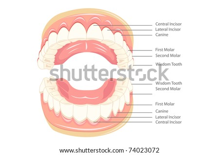 illustration of anatomy of teeth with labeling - stock vector