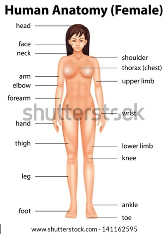 Illustration of human body parts - stock vector