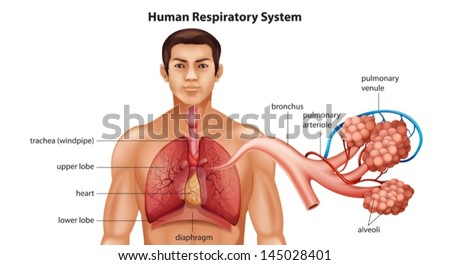 Illustration of Human's Respiratory System - stock vector