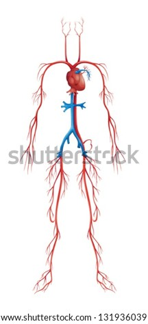 Illustration of isolated human circulatory system - stock vector