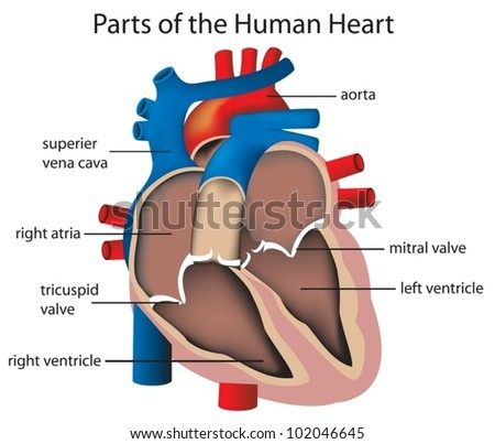 Illustration of parts of the heart - stock vector