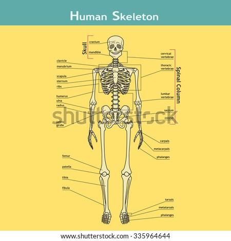Illustration Skeletal System Labels Human Skeleton Stock Photo ...