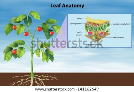 Illustration of the anatomy of a leaf - stock vector
