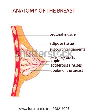 illustration of the anatomy of the breast